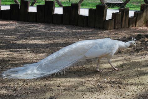 pavone vanitoso fattoria didattica con pavoni pavone in fattoria coda pavone