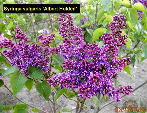 albert holden syringa vulgaris albert holden klyn nurseries inc