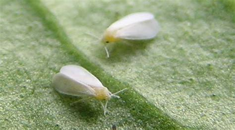 small white bugs in house small white bugs in house 28 images tiny white bugs my carpet carpet vidalondon