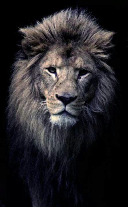pin by suzette sena on i love leo pinterest lions