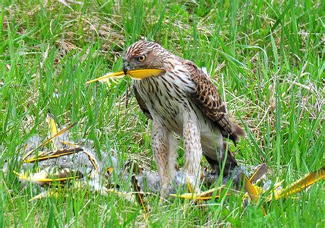 cooper s hawk kills plucks and eats woodpecker