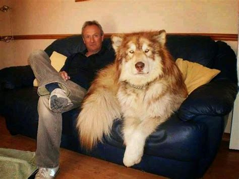 how to tell how big a mixed puppy will get best 25 wolf hybrid dogs ideas on wolfdog hybrid wolf breeds and