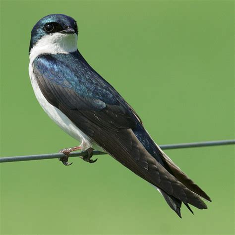 tree swallow photo best naked ladies