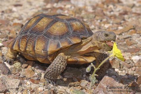 google images turtle google image result for http www redcliffsdesertreserve