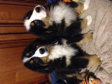 bernese mountain dogs for sale beautiful bernese mountain puppies for sale carmarthen carmarthenshire pets4homes