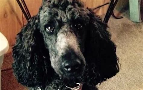 Search For Disabled Disabled Veteran S Desperate Search For Missing Dogs Pet Rescue Report