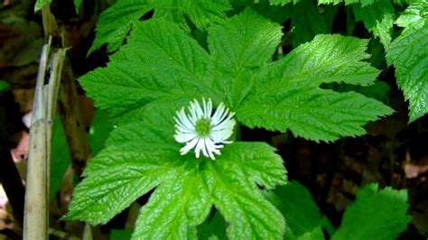 Does Goldenseal Detox Your by Goldenseal Plants For Sale