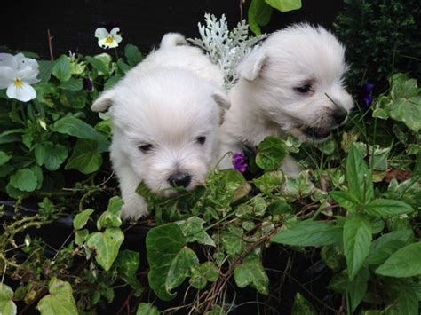 west highland puppies for sale stunning westie puppies for sale chinnor oxfordshire pets4homes