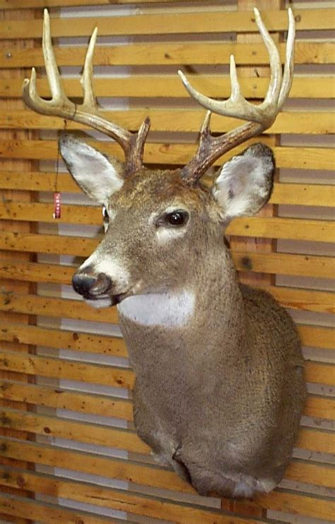 deer head whitetail deer head mounts