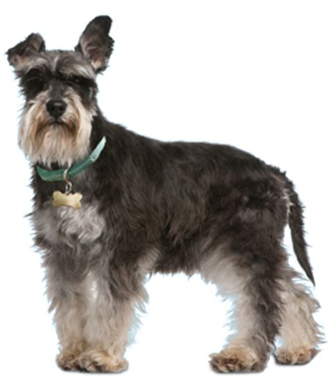 schnauzer puppies florida schnauzer puppies dogs for adoption