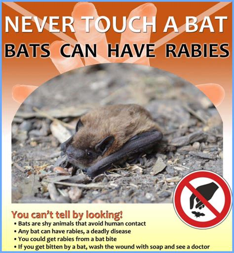 when should puppies get rabies bat rabies how common is rabies from bats bat removal pro