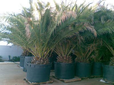 offerte piante da giardino mp plant offerte piante piante da frutta bonsai