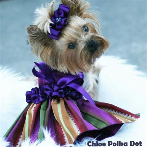 yorkie dresses 179 best images about pretty pups on poodles miniature and yorkie