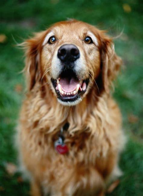 golden retriever senior adopting senior golden retrievers pets