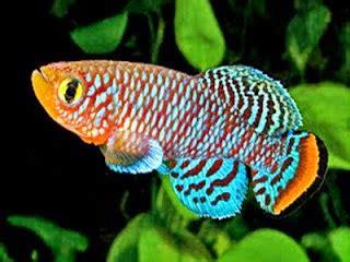 Pakan Ikan Cupang Agar Cepat Bertelur indonesia surga ikan hias tropis
