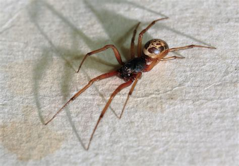 Garden Spider Vs False Widow As False Widow Spiders Spread Here S How To Spot One And