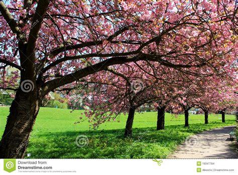 6 cherry tree groveland ma cerezos japoneses foto de archivo imagen de flores flora 19347784