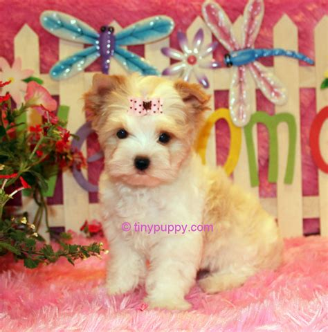 gold dust yorkie x tra tiny gold dust terrier buttercup tinypuppy