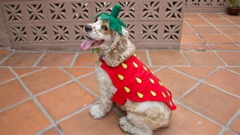 are strawberries ok for dogs strawberry costume professorpincushion professor pincushion