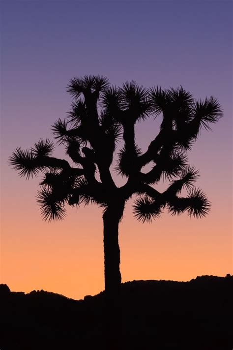 joshua tree silhouette inspiration