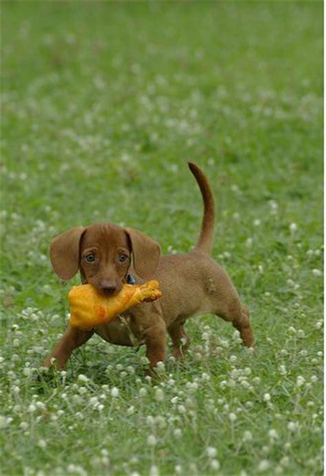 light brown puppy light brown dachshund puppy with its chicken leg standing on the grass jpg