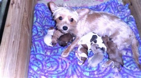 yorkie whelping whelping terrier puppies and picture breeds picture