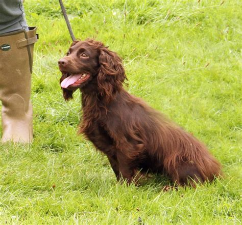 what does a setter dog look like clumsetter gundogs working cocker spaniel puppies and