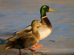 file male and female mallard ducks jpg