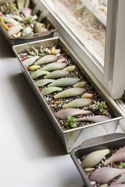 Propagating Succulents Can Be Done By Using The Offsets - propagate succulents with the leaves cuttings using honey