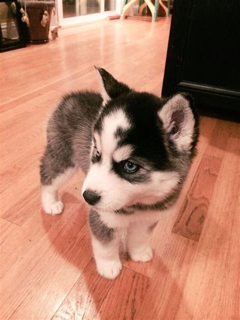 how big do pomeranian huskies get 25 best ideas about mini huskies on mini siberian husky pomeranian husky