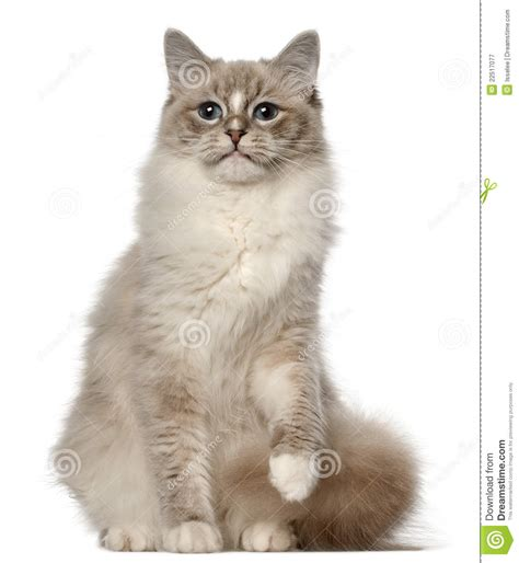 1 year rag doll ragdoll cat 1 year sitting in front of royalty free