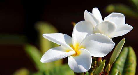 Flower Rubiah all about beautiful bali february 2013