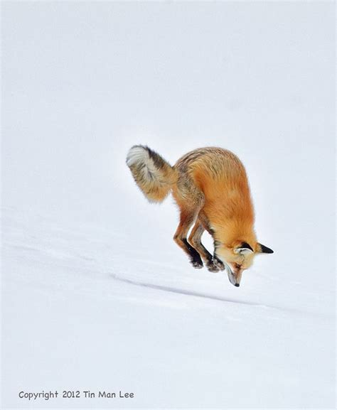 libro the man red fox 80 best images about gt fox jump on red fox animals and pets and foxes