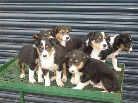 tri puppies beautiful tri coloured border collie puppies bala gwynedd pets4homes