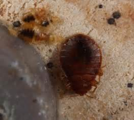 guide how to get rid of bed bugs safely and inexpensively