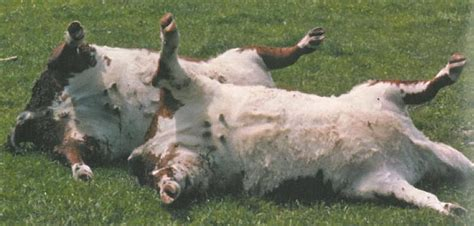 can dogs get tetanus did you your cattle need tetanus vaccinations