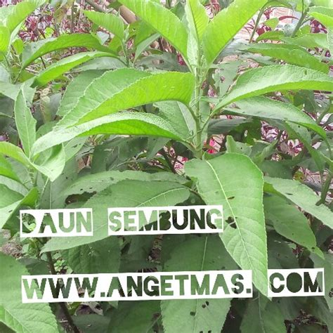 Bibit Tanaman Obat Jati Belanda bibit tanaman daun sembung anget anget