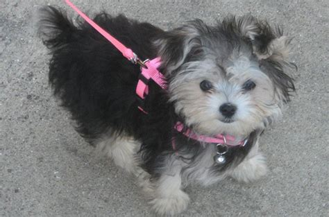how big does a teacup shih tzu get search results for shorkie haircuts styles black hairstyle and haircuts