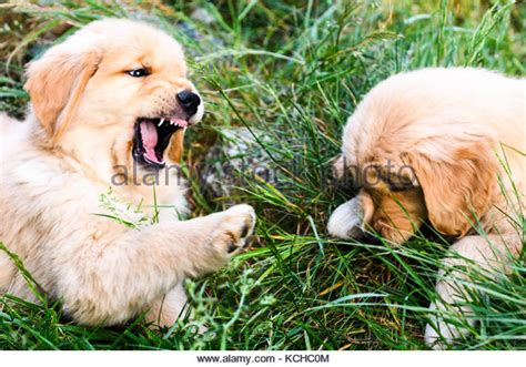 2 week golden retriever puppies retriever puppies stock photos retriever puppies stock images alamy