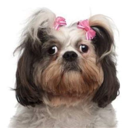 when does a shih tzu puppy become a shih tzu information center shih tzu barking