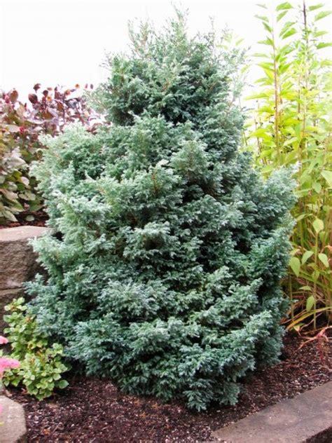 fabulous false cypress hgtv