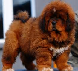 Tibetan mastiff dog info puppies sale cost facts pictures