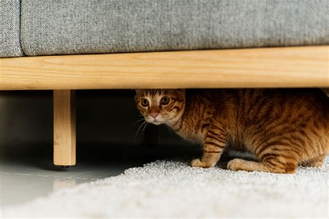 Cat Hiding Bed how to assess your emergency situation with pets catster