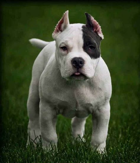 dogo dogs 20 dogo argentino puppies photos the bully breeds
