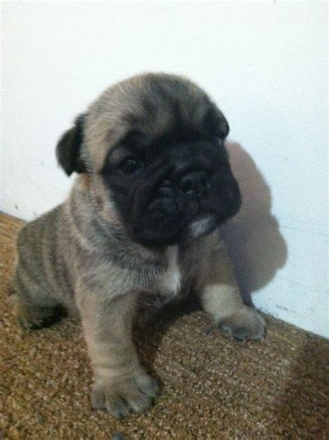 half bulldog half pug half bulldog half pug puppies breeds picture