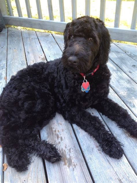 black goldendoodle puppy pin goldendoodle black puppies on