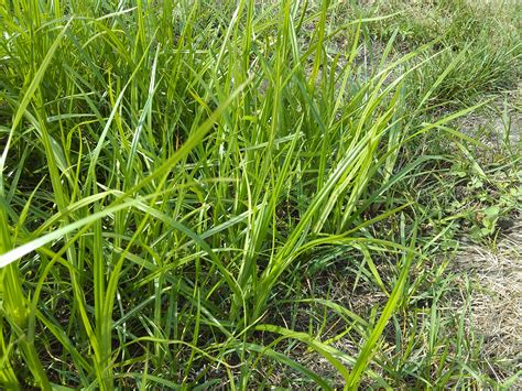 yellow nutsedge the problem grass like weed that will