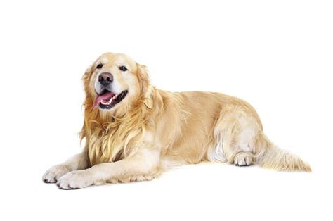 most popular breeds 2016 most popular breeds in the u s in 2016 channel365