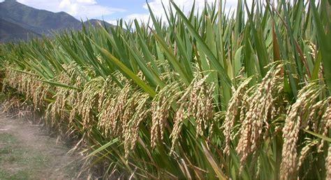 Pupuk Majemuk Terbaik pupuk dan benih padi organik terbaik