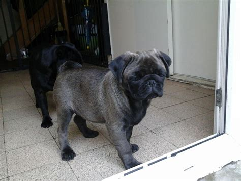 silver pug puppies for sale uk silver platinum black pug puppies leter ceredigion pets4homes